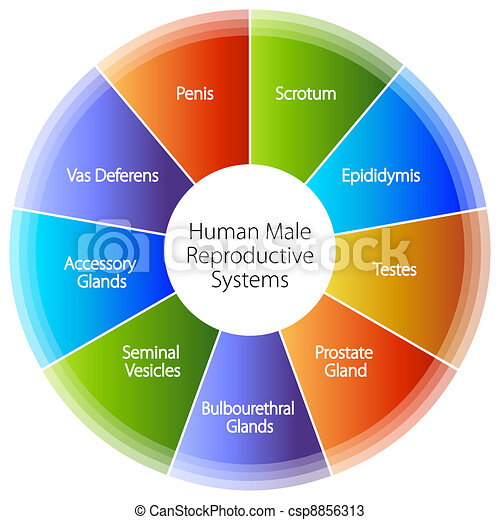 Human Male Reproductive Systems Chart - csp8856313