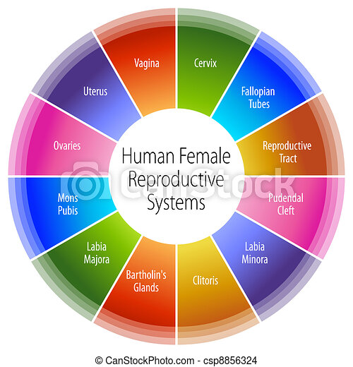 Human Female Reproductive Systems Chart - csp8856324