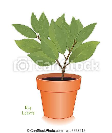 Bay Leaves Herb in Clay Flowerpot - csp8867218