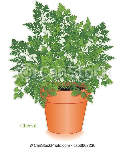 Chervil Herb in Clay Flowerpot - csp8867236