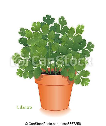 Cilantro Herb in Clay Flowerpot - csp8867258