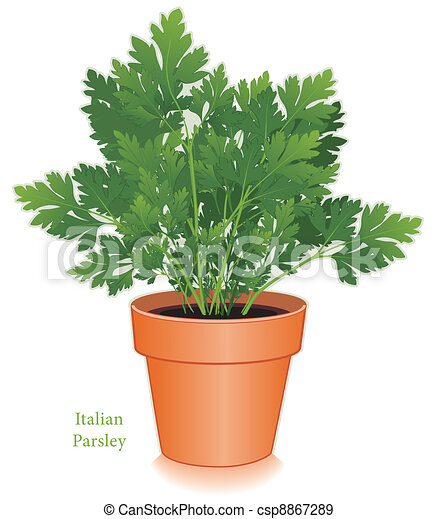 Italian Parsley Herb in Flowerpot - csp8867289