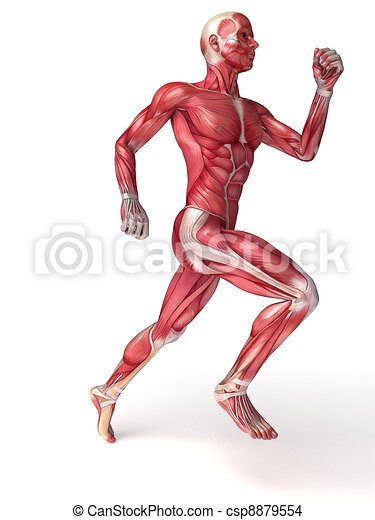 Males muscles anatomy - csp8879554