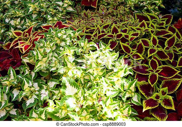 Колеус блюме салатовый фото