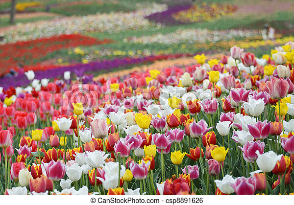 Field of bright colorful spring tulips flowers