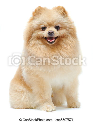 Portrait of sitting pomeranian spitz - csp8897571