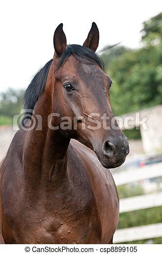 Portrait bay horse in the paddock - csp8899105