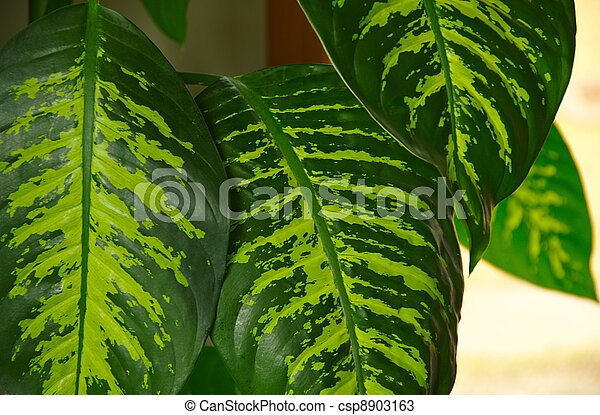 photos de marbr feuilles genus dieffenbachia a dumb cane csp8903163 recherchez. Black Bedroom Furniture Sets. Home Design Ideas