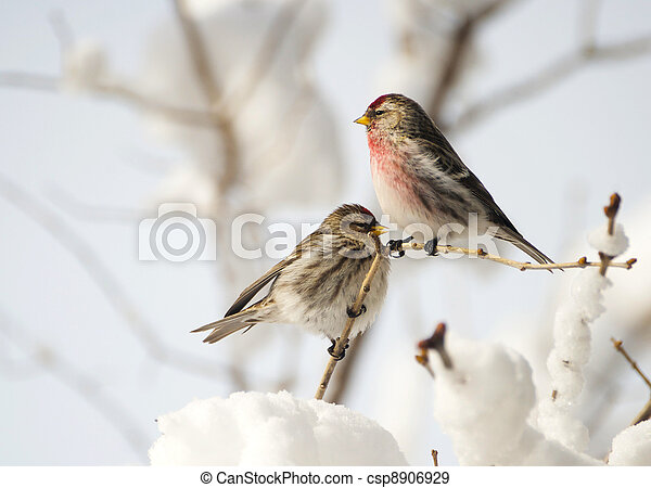 Male and female common redpoll. - csp8906929