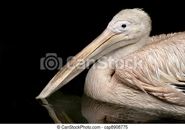 Beautiful white rosy Pelican - csp8908775