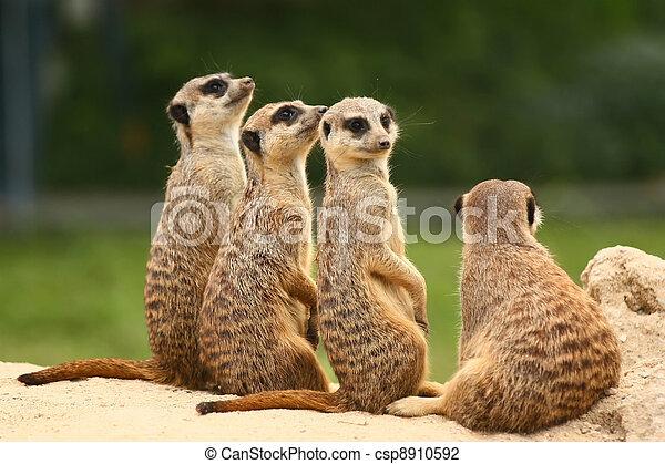 meerkats, reizend, gruppe - csp8910592