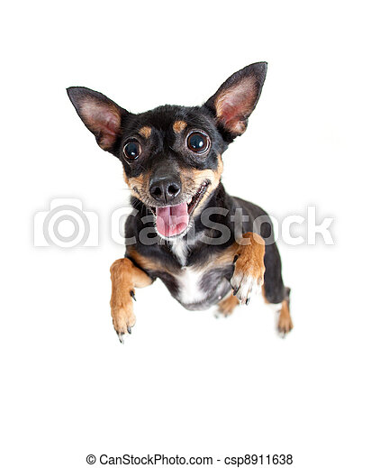 jumping flying toy terrier dog or top view - csp8911638