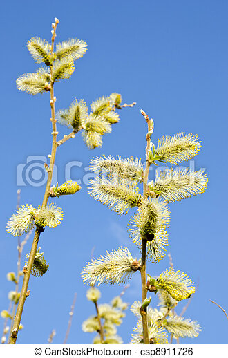 yellow catkins on willow branches - csp8911726