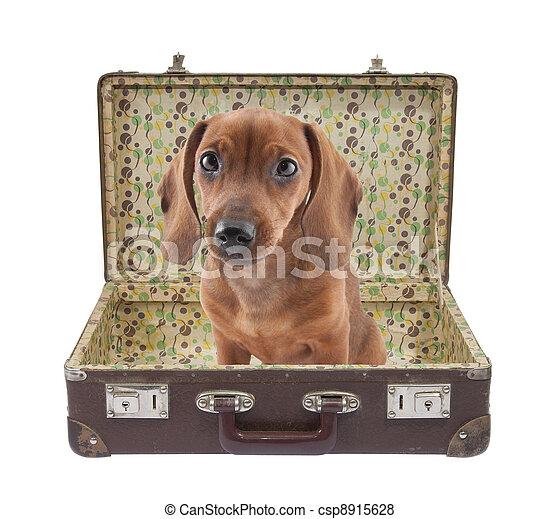 Dachshund puppy in vintage suitcase - csp8915628