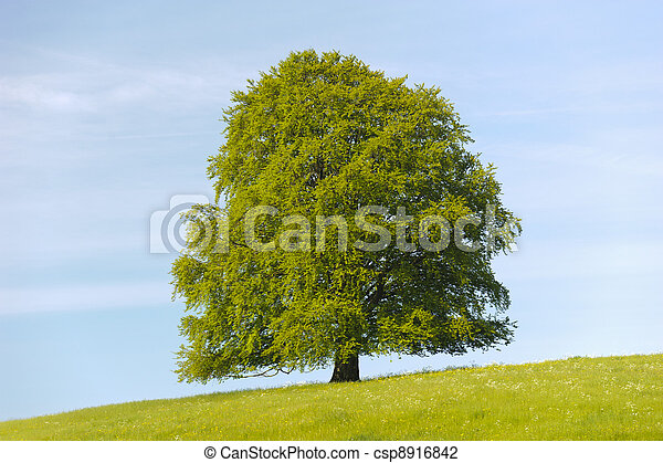 photo de unique tilleul arbre printemps pr csp8916842 recherchez des photographies des. Black Bedroom Furniture Sets. Home Design Ideas