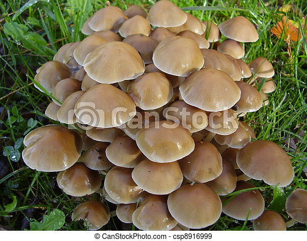 Mycena inclinata (Clustered Bonnet) - csp8916999