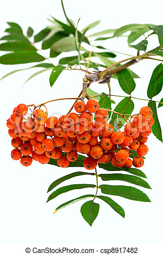 Rowan berries and leaves on white background - csp8917482