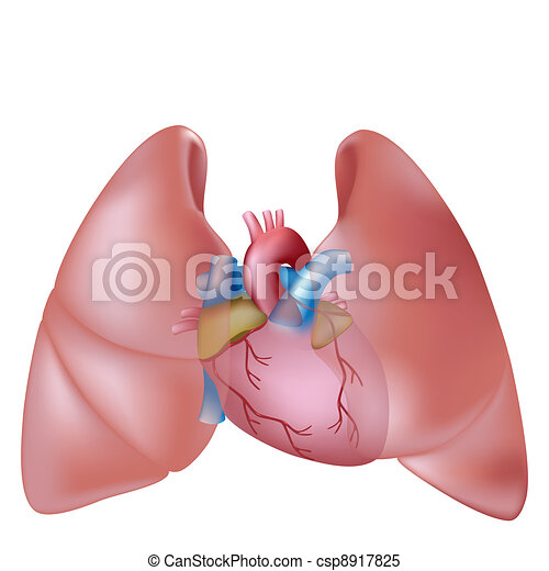 Human lungs and heart - csp8917825