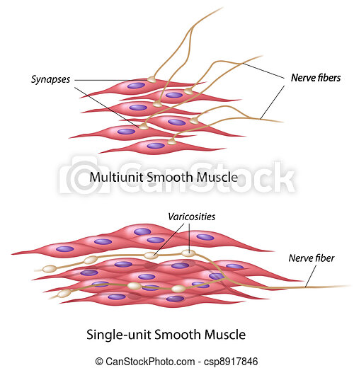 Smooth muscle innervation - csp8917846