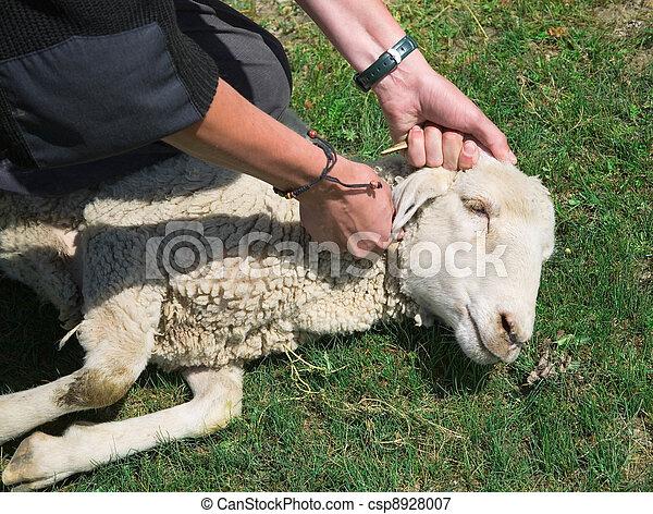 A man kills a sheep - csp8928007