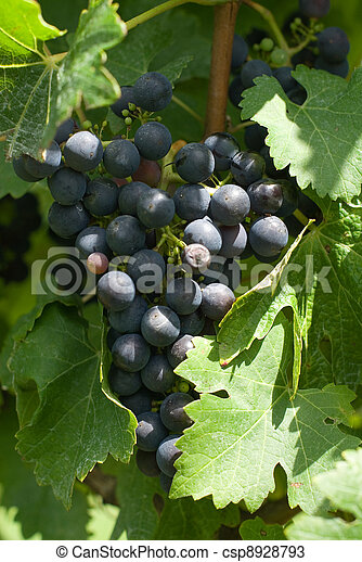 A Bunch of Cabernet Sauvignon Grapes - csp8928793