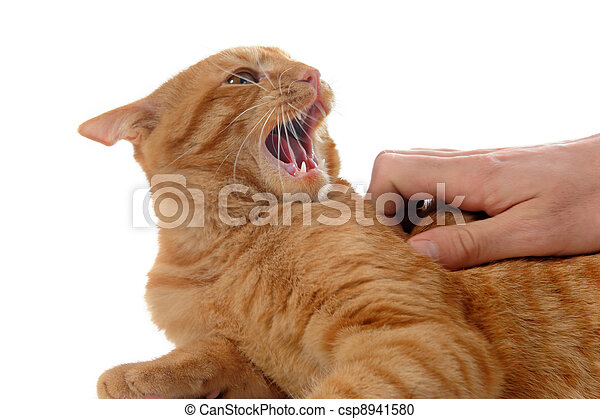 aggressive ginger cat  - csp8941580