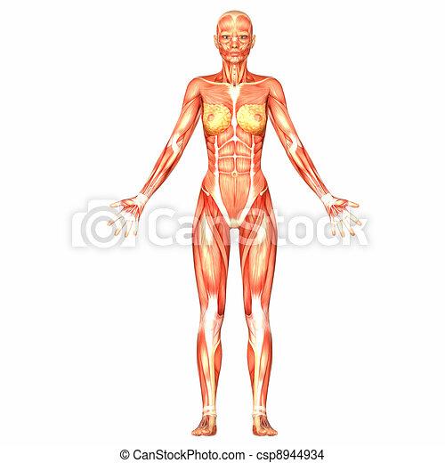 dessin de femme corps anatomie illustration anatomie femme csp8944934 recherchez des. Black Bedroom Furniture Sets. Home Design Ideas