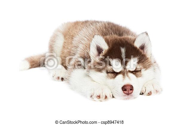 sleeping Siberian husky puppy dog - csp8947418