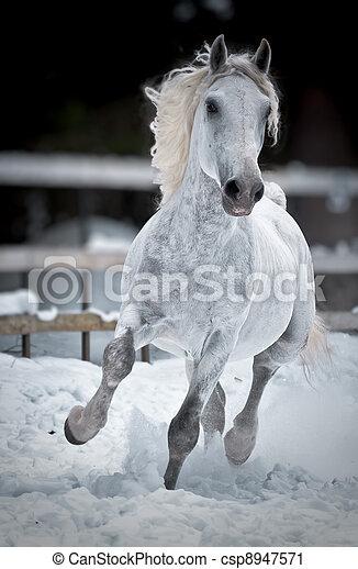 White horse runs gallop in winter - csp8947571