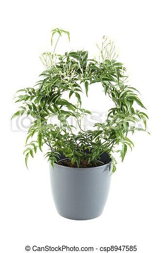 stock bilder von jasmin eingetopft hat pflanze. Black Bedroom Furniture Sets. Home Design Ideas