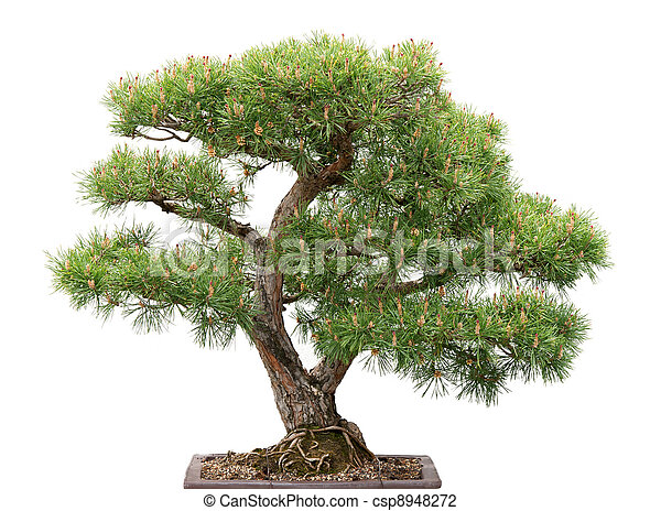 Bonsai, pine tree on white background - csp8948272