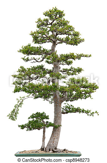 Elegant bonsai elm tree on white background - csp8948273