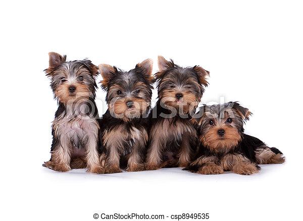 Yorkshire terrier - csp8949535