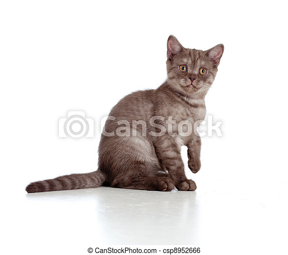 little kitten pure breed striped british isolated - csp8952666