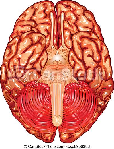 Human brain underside view vector - csp8956388