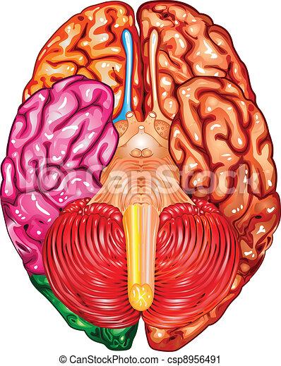 Human brain underside view vector  - csp8956491