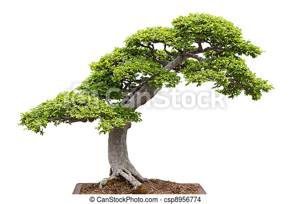 Green bonsai tree on white background - csp8956774