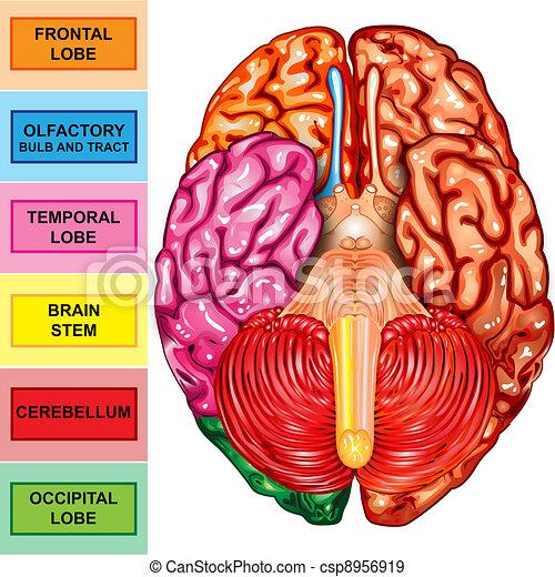 Human brain underside view  - csp8956919