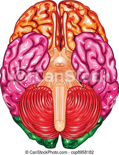 Human brain underside view vector - csp8958182