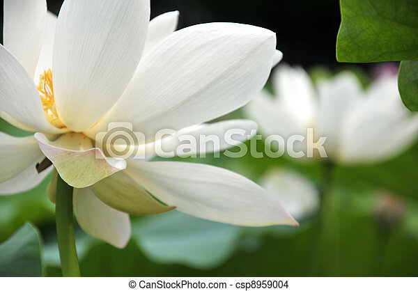 Blossom white lotus flowers - csp8959004