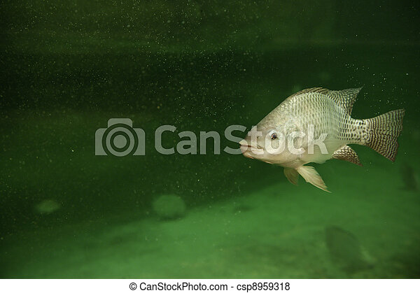 Pictures of tilapia one tilapia fish swimming in a pond for Tilapia swimming
