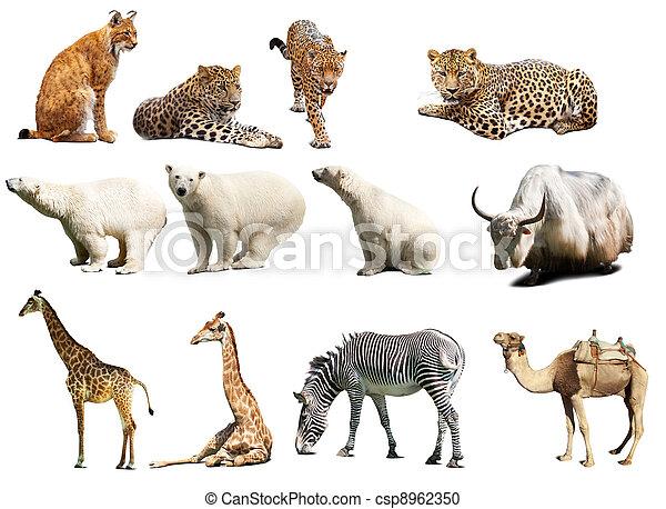 felett, állhatatos, elszigetelt, fehér, animals. - csp8962350
