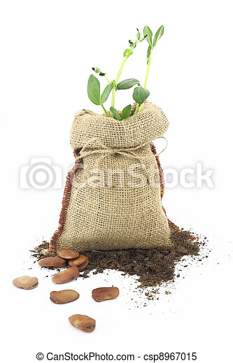 Broad beans plant in a burlap sack - csp8967015