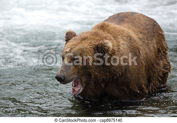 Alaskan brown bear with its mouth open - csp8975140