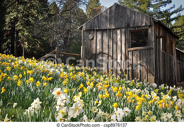 Cabin at Daffodil Hill Tourist Attraction California in Spring - csp8976137