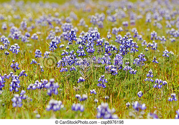 Texas Blue Bonnet - csp8976198