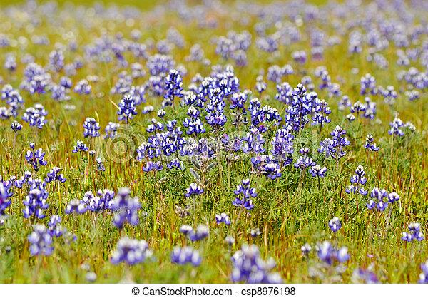 Texas Blue Bonnet - csp8976198