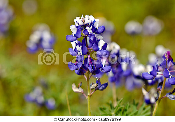Texas Blue Bonnet - csp8976199