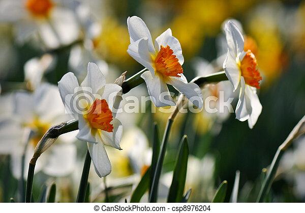 White Daffodils - csp8976204