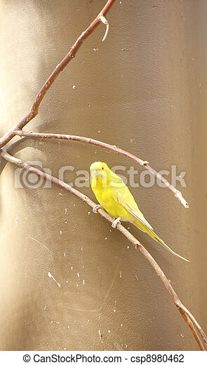 Yellow Parakeet on Limb - csp8980462